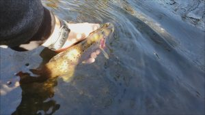 Beautiful Brown Trout Catch on the New High Altitude Brands Telescopic Fishing Rod
