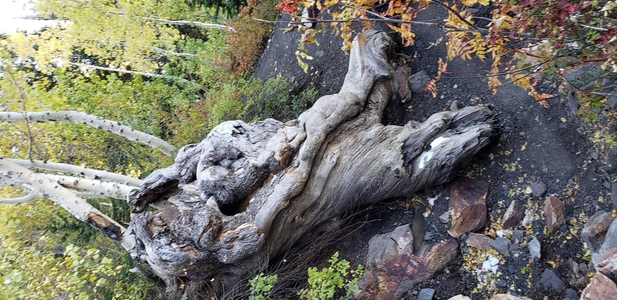 Cool old log up Big Cottonwood Canyon on Lake Blanche Trail